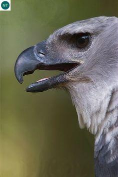 Đại bàng Harpy Trung và Nam Mỹ | Harpy eagle (Harpia harpyja)(Accipitridae) IUCN Red List of Threatened Species 3.1 : Near Threatened (NT) | (Loài sắp bị đe dọa)