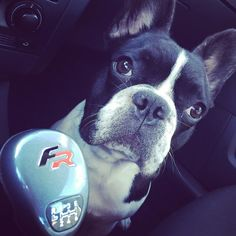 #frenchbulldog #fr #seat #ibiza #racing #team974 #love #intoulouse #reunionisland #guizmo #guigui #labrigade #sun #hivers #cool by arrnow