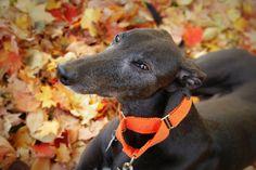 Greyhound martingale model, A Star Blackieto.