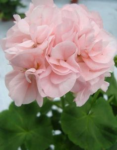 Hermosas flores de color rosa