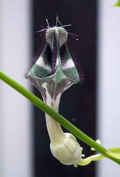 "ceropegia  denticulata ""brownii"" by hildor, via Flickr"