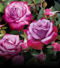 'Paradise' hybrid tea rose. Released in 1979, it was considered a color breakthrough in its day.