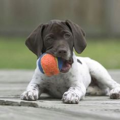 German shorthair pointer ... Coming soon to the Fettig home!! :) ... Soon as in this summer, not soon enough!