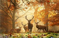 Majestic with their Autumn antlers!!