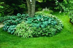 Plant hostas around the trees out back! I like how they mixed lots of different kinds of hostas to get lots of texture