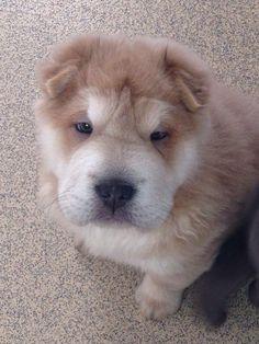 Bear Coat Shar Pei Puppy