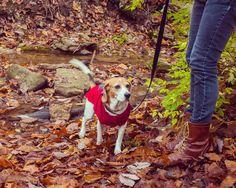 I spy a pup who loves to explore. #btownbeagle #btownfall #hellobtown #beagle #fall #visitindiana
