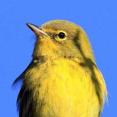 Pine Warbler up close and personal!  #warbler #pinewarbler #deadcypressphotography