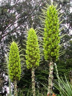 Puya chilensis Monstrous flower in Chile: can take 20 years to bloom. Has razor-sharp spines it uses to ensnare sheep, birds, and other critters. Most small animals can't wriggle free & eventually starve to death...fertilizing the soil. Nicknamed 'sheep-eater'