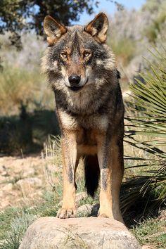 ☀Iberian Wolf, Canis lupus signatus by Ian Macfadyen*