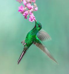 Lessons from a hummingbird Hummingbird Pictures, Butterfly Pictures, Butterfly Art, Butterflies, Beautiful Rose Flowers, Beautiful Birds, Animals Beautiful, Polo Sul, Polo Norte