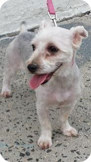 Bronx, NY - Silky Terrier Mix. Meet Jenny, a dog for adoption. http://www.adoptapet.com/pet/12570264-bronx-new-york-silky-terrier-mix