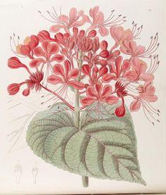 (1844) - Edwards's botanical register. - Biodiversity Heritage Library