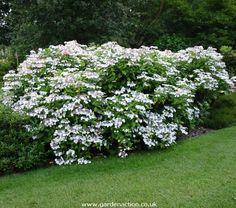 hydrangea_macrophylla_lanarth_white