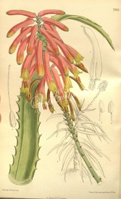 The Biodiversity Heritage Library works collaboratively to make biodiversity literature openly available to the world as part of a global biodiversity community. Family Illustration, Botanical Illustration, Image Collection, Vintage Images, Aloe, Tulips, Lily, Clip Art, Flowers