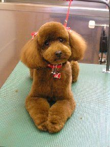 """[gallery order=""""DESC""""] I'm going to introduce cute poodle cuts in Japan. People who owns poodles change the poodle's hair cuts really cute. Some of them are funny…. Dog Grooming Styles, Poodle Grooming, Pet Grooming, Red Poodles, Mini Poodles, I Love Dogs, Cute Dogs, Cute Puppies, Poodle Cuts"""