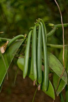 This is a guide about growing vanilla. Vanilla was first cultivated in Central America and is easily grown in warm humid conditions. Orchid Plants, Air Plants, Garden Plants, Vanilla Plant, Vanilla Orchid, Growing Orchids, Growing Roses, Grow Vanilla Beans, Plant Diseases