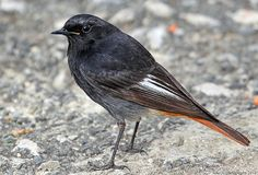 Rabiruivo Preto - Black redstart - Phoenicurus ochruro