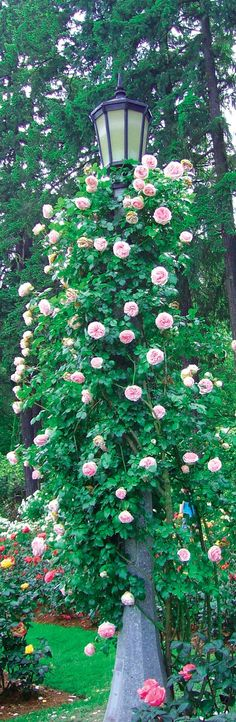 Wow! Climbing roses on a lamp post.