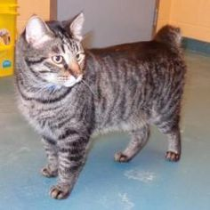 Big Daddy is an adoptable American Shorthair Cat in Memphis, TN. Just look at this big boy with a bobbed tail!! This is Big Daddy! A more handsome cat will be hard to find!! Big Daddy is about 2 years...