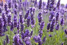 How to take semiripe lavender cuttings – Growing lavender Growing lavender, Lavender seeds, How to p Lavender Seeds, Growing Lavender, Lavender Plants, Lavender Candles, Lavender Blossoms, Mint Plants, Lavender Scones, Herb Garden, Garden Plants