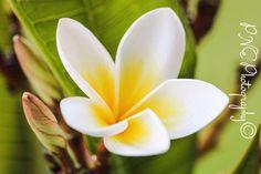 Frangipani White #photo #photography #photoart #photoblog #ThePhotoHour #PNEPhotography #flowerphotography #flowers #frangipani