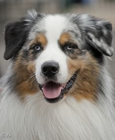 Australian Shepherd by Johan (JCh photography), via 500px