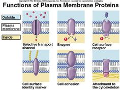 Plasma membrane proteins can act as receptors, second-messager systems, enzymes, channels (ligand-gated, voltage-gated, or mechanically gated), carriers, cell ID markers, and cell-adhesion molecules.