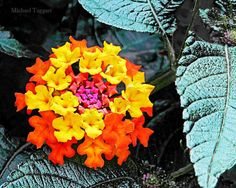 Ring Around the Rosie Amazing Pictures Digital Download JPG Photo by Michael Taggart Photography flower lantana orange yellow pink fuchsia