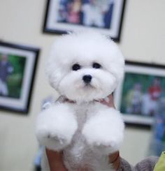 Such a sweet lil' Bichon! Animals And Pets, Baby Animals, Cute Animals, Cute Dog Pictures, Animal Pictures, Baby Puppies, Cute Puppies, Frise Art, Bichon Dog