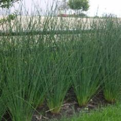 Juncus 'Javelin'. It gets to be almost 7' tall, performs well in a range of environments, from standing water to heat and drought conditions. http://www.nickys-nursery.co.uk/garden-shop/seeds/grasses-ornamental/grasses.-juncus-javelin-10-multi-pelleted-seeds