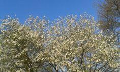 Prachtige Magnolia op Gagelsteede