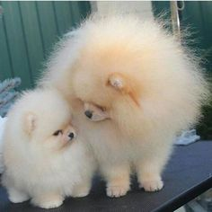 I WANT A POMERANIAN PUFF BALL