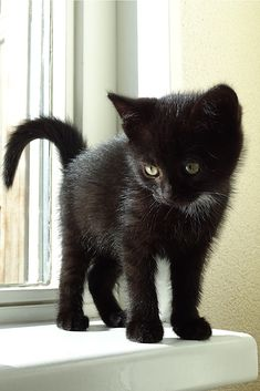 I am going to call the black kitten Lucifer. Cute Kittens, Cute Baby Cats, Cute Little Animals, Ragdoll Kittens, Kitty Cats, Tabby Cats, Bengal Cats, Cat Gifts, Cat Lover Gifts