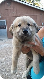De Soto, MO - Great Pyrenees/German Shepherd Dog Mix. Meet Haus, a puppy for adoption. http://www.adoptapet.com/pet/11668279-de-soto-missouri-great-pyrenees-mix
