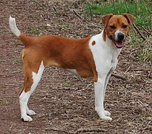 The Plummer terrier's ancestry includes Jack Russells, beagles, bull terrier, and fell terrier.