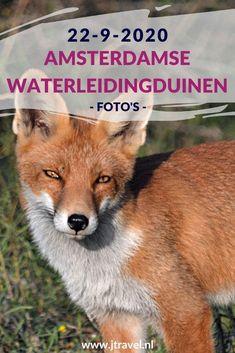 Ik maakte een wandeling in de Amsterdamse Waterleidingduinen. Dit keer zag ik damherten en 2 vossen. Mijn foto's zie je hier. Kijk je mee? #awd #vos #damhert #wandelen #hiken #natuur #jtravel #jtravelblog #fotos