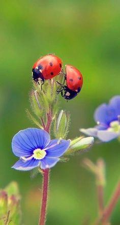 Ladybug with blue flower