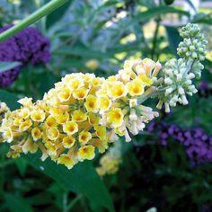 Sommerflieder 'Sungold' - Gartenpflanzen online kaufen & bestellen
