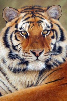 Color Tiger Face Drawing : color, tiger, drawing, Tiger, Drawing, Ideas, Drawing,, Drawings,, Animal, Drawings