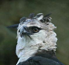 Gavião-real (ou harpia). Foto Lester Scalon. http://viajeaqui.abril.com.br/national-geographic/blog/brasil-das-aves/a-mata-atlantica-revelada/2013/02/05/?utm_source=redesabril_viagem