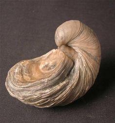 "The ""devil's toenail"" - oyster Gryphaea arcuata a classic Jurassic guide fossil, Dorset,England fossil"