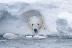 Peek-a-boo: A polar bear cub plays in a snow drift at the Arctic National Wildlife Refuge ...