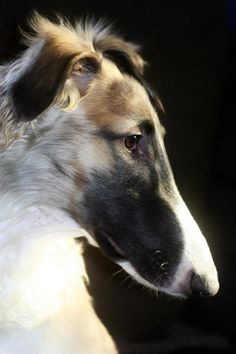 My Borzoi puppy Marvel (Mantsikka Waiting for a Dream). Both are beautiful