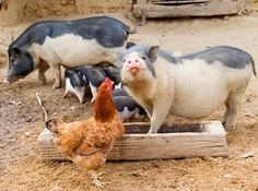 Pig and Chicken. down on the farm! Happy Animals, Farm Animals, Cute Animals, World Farm, Country Critters, Teacup Pigs, The Barnyard, Pet Day, Chickens And Roosters