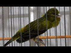 YouTube Canario Belga Salsa, Canary Birds, Bird Aviary, Backyard Garden Design, Beautiful Birds, Parrot, Animals, Serin, Thundercats