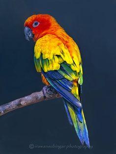 Colorful birds - Sun Conure or Sun Parakeet - by Irawan Subingar on 500px