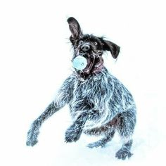 Wirehaired Pointing Griffon - Gotta keep your eyes on the ball