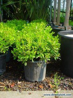 Australische laurier (Pittosporum tobira 'Nanum') kopen en online bestellen