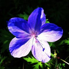Cranesbill (Geranium Johnson's Blue)